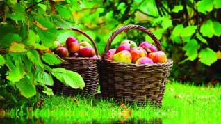 Айдаред, Кортланд и другие прелести яблочного сезона