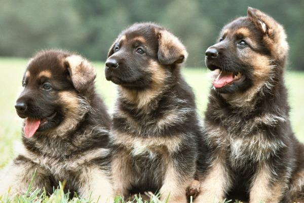 RCMP Dogs