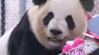 panda celebrates 8th birthday at Toronto Zoo 2