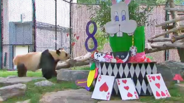 panda celebrates 8th birthday at Toronto Zoo