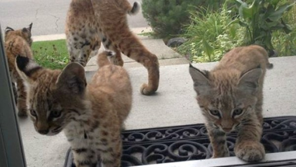 Baby bobcats make surprise visit to Calgary home