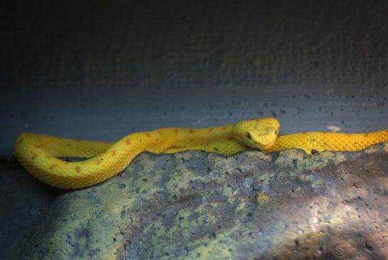 Eyelash Snake