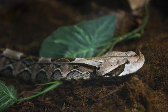 West Gaboon Viper