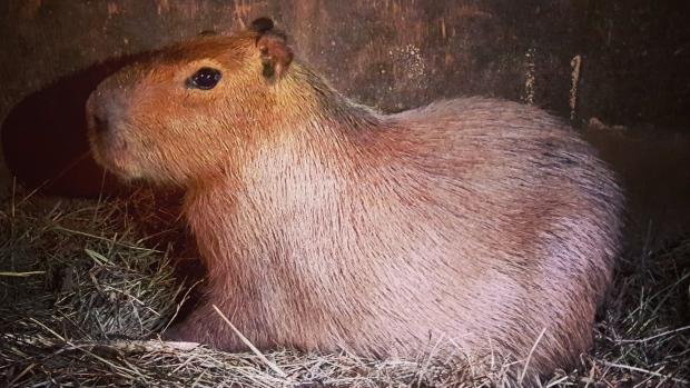 Capybara newborn