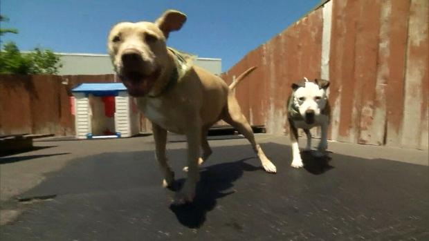 pitbulls be banned