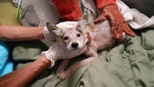 koyote pup