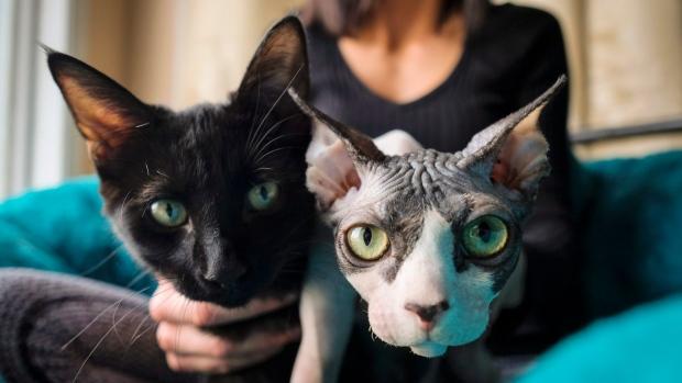 ВКанаде побритого кота женщине продали поцене сфинкса