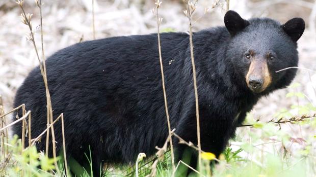 Патрульные убили медведя вТоронто