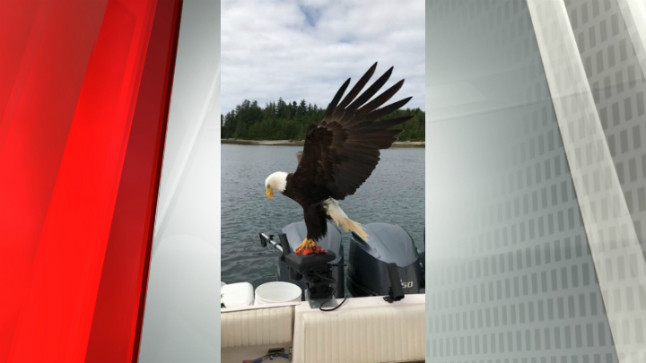 Орел похитил рыбу, спикировав налодку канадского рыбака