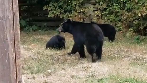 Канадец уговорил медвежью семью уйти содвора его дома