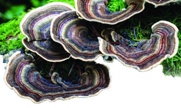 Трутовик разноцветный – уникальный лекарственный гриб