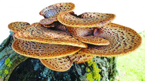 Трутовик пестрый.  Один из первых весенних грибов