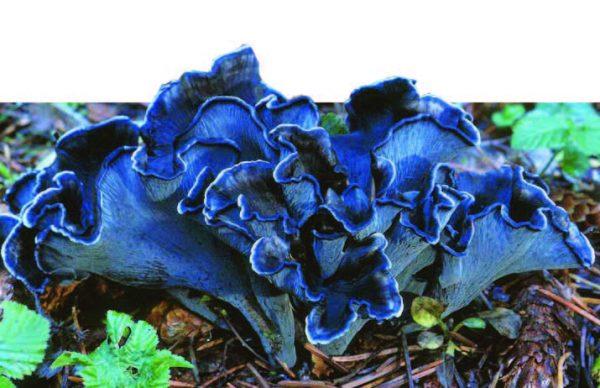 Голубая или черная лисичка – необычный гриб