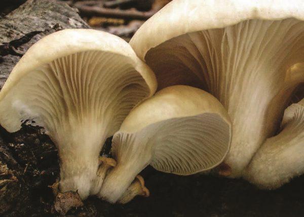 Вешенка обыкновенная – деликатесный гриб