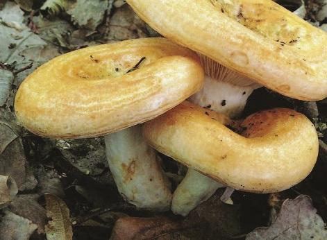 Груздь дубовый – целебный и питательный гриб