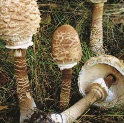 Королевский шампиньон или гриб-зонтик большой – деликатесный гриб