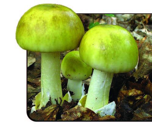 Бледная поганка, или Мухомор зеленый – защитник здоровья леса!