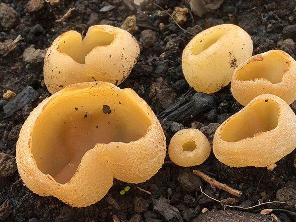 Петица пузырчатая – съедобный лекарственный гриб