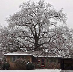 Горсовет Торонто решил спасти дуб, который старше Канады